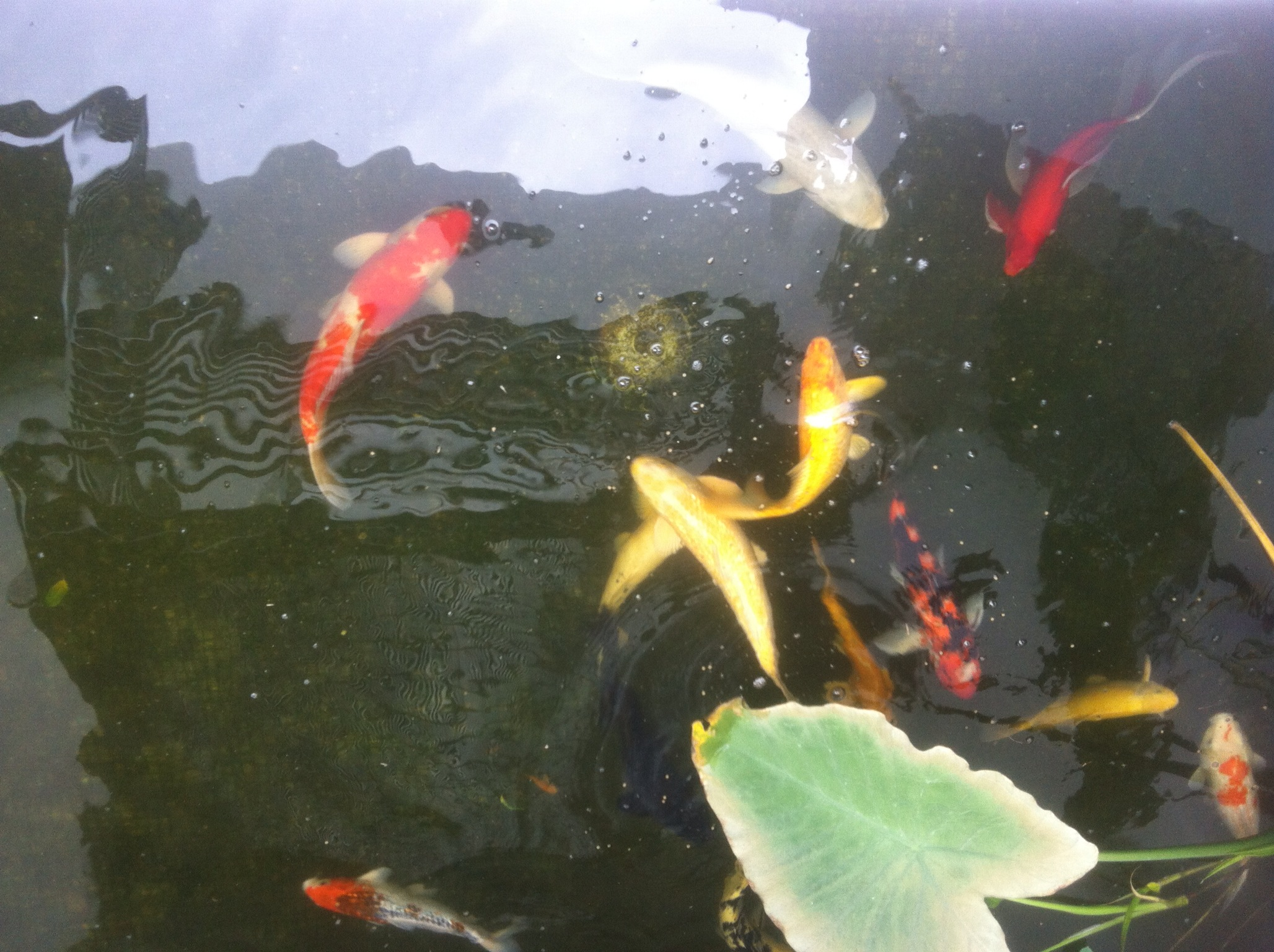 Bellas aquatic gardens miami 39 s premier pond contractor for Koi pond specialist