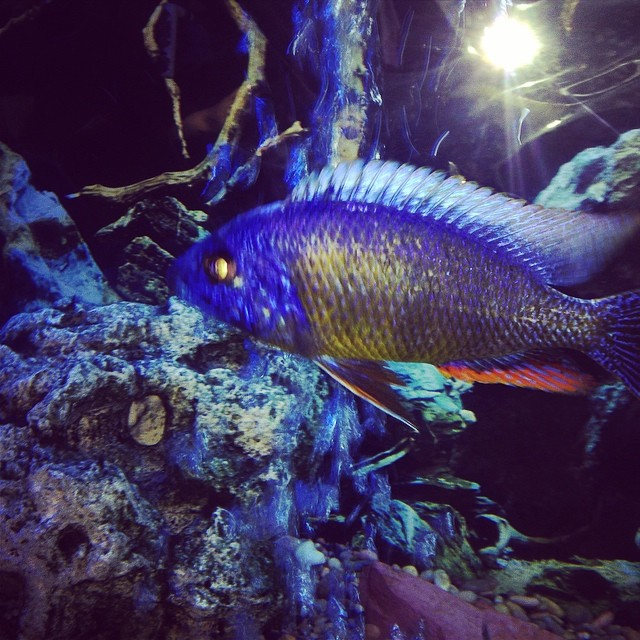 One of my favorite fish,Electric blue Ali hybrid... #bellasaquaticgardens #bellasponds #chiclid #Electricblueali #pondpirates