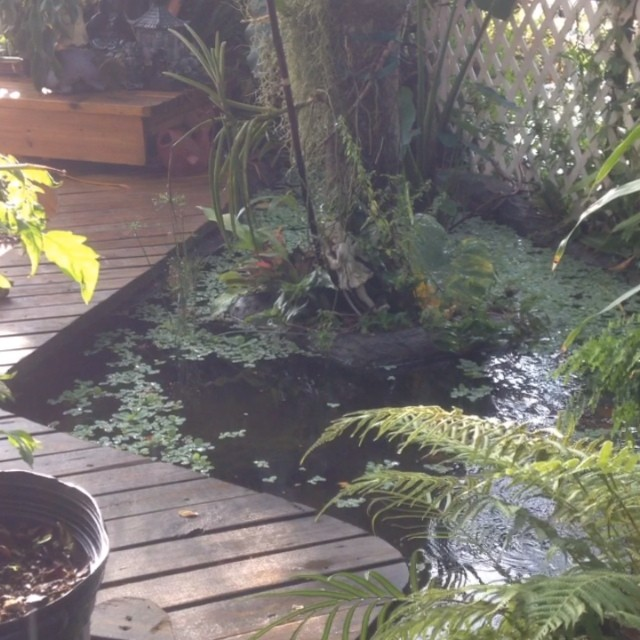 It's starting to feel like a rainforest .. Back here .. #pond #bellasaquaticgardens #bellasponds #waterfall #lovemyyard #itsspringtime #thetoadsarefucking any buddy out there eat frog legs ... I got a dozen right here .. Fresh as u can get ??